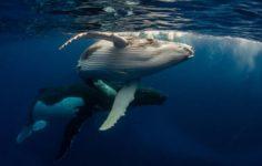 Balinalar Durmuyor: 11.660 BTC Önce Alındı Sonra Transfer Edildi